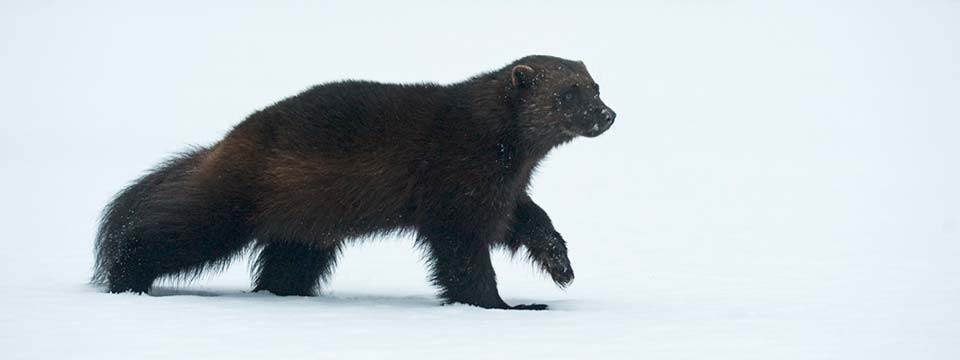 Image courtesy of http://www.wildfinland.org